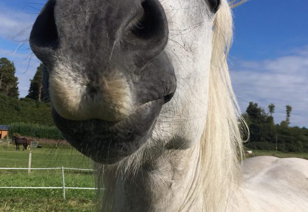 funny-animal-picture-whisky-the-highland-pony-smil-JS25WH8
